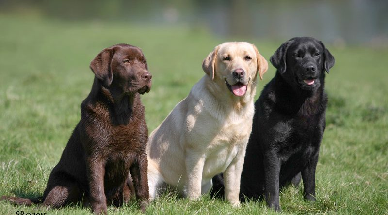 Labrador: la razza di cani più amata negli USA e non solo