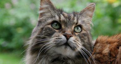 L'emobartonellosi nel gatto diagnosi e cure