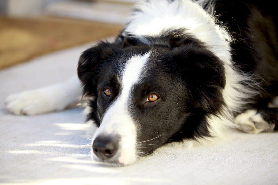 Perdita del pelo del cane: cause, sintomi e rimedi